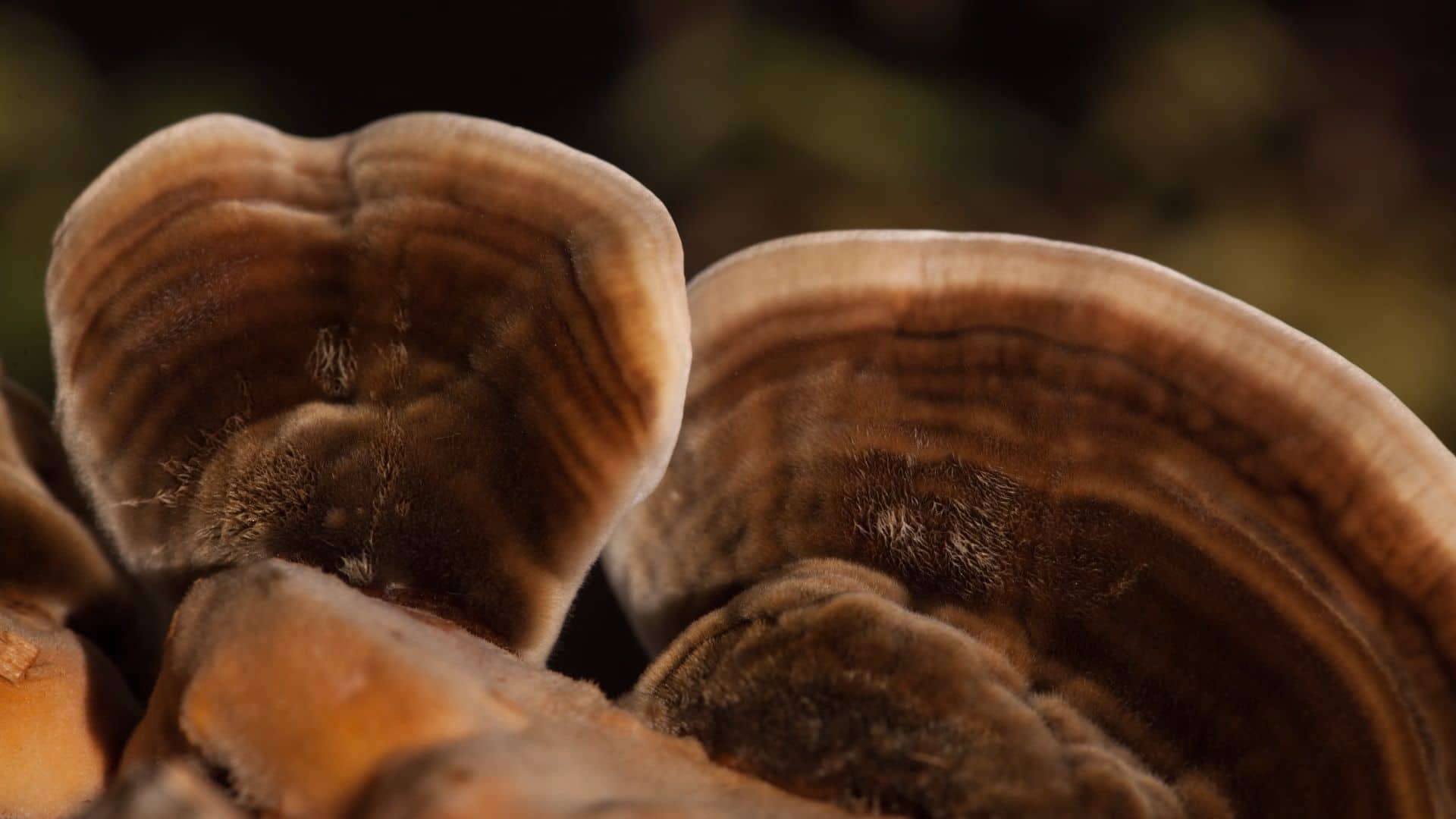 Wellness Experts & Wellness Influencers like Anne-Marie Bonneau promote the benefits of living a simpler life for your health and the planet. Close up of brown turkey tail mushrooms.