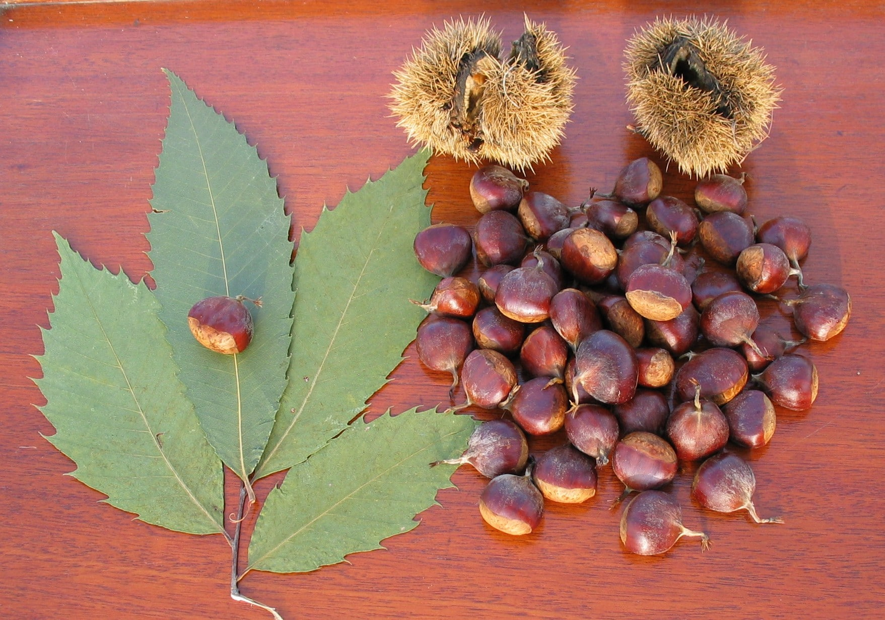 "Transgenic American Chestnut ""The gene makes an enzyme that actually detoxifies the acid that the fungus throws at the plant"" William Powell"