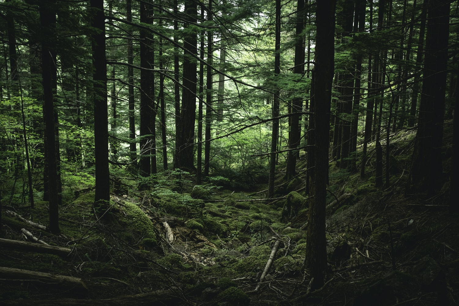 Finding the Mother Tree Book by Suzanne Simard will be available in May 2021 from Penguin Random House at all major booksellers. Picture of tall trees in forest.