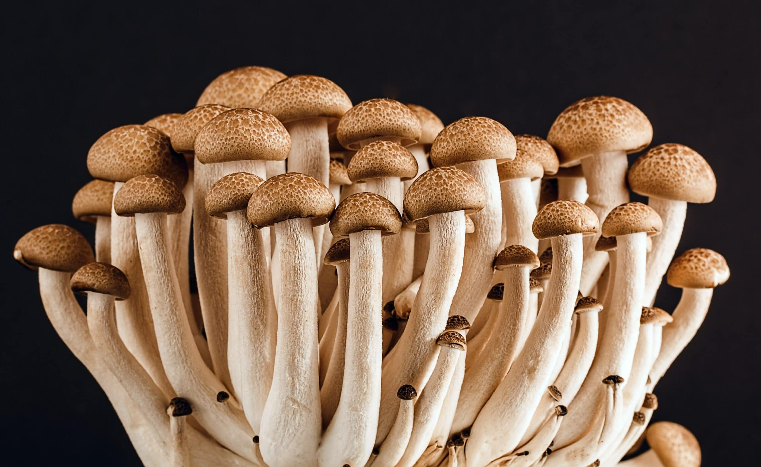How To Start Growing Mushrooms at home? Mushrooms are easy to grow, thanks to the availability of easy-to-use grow kits. Go back to nature now. Cluster of mushrooms together on a black background.